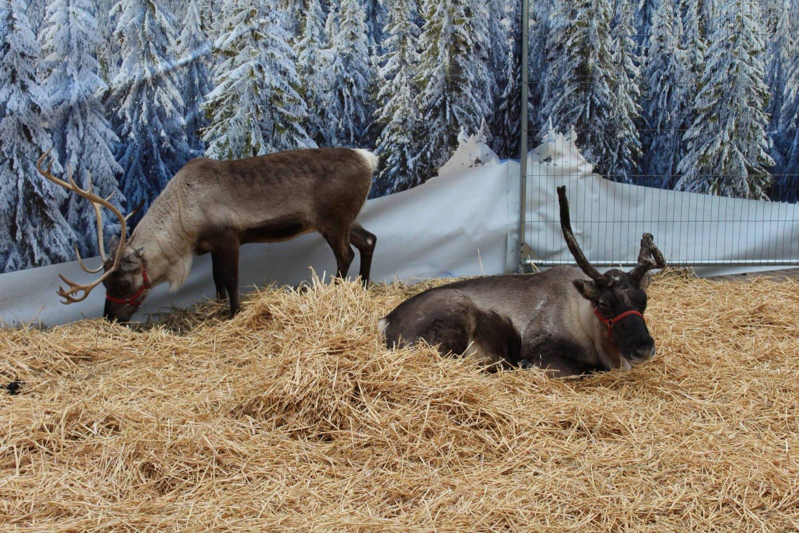 reindeer stewarts garden centre